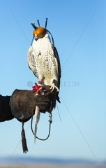 Falconer carryring a hooded Rapace - Burgos Spain