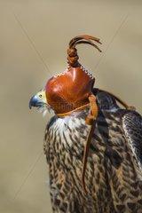 Portrait of hooded Rapace - Burgos Spain