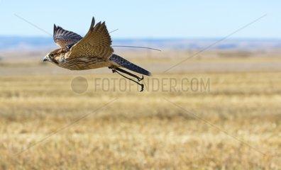 Raptor in flight wearing ties - Burgos Spain