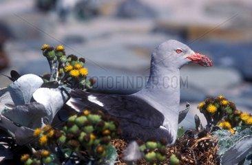 Goéland de Scoresby posé sur son nid Falklands