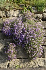 Aubrieta 'Royal Blue' on a wall - Bugey France