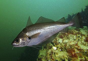 Poor cod (Trisopterus minutus)  Composite image. Portugal