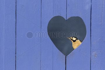 Great spotted woodpecker (Dendrocopos major) perched in a heart shape hole in a blue door  England