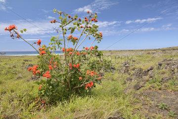 Indian Coral Tree (Erythrina variegata)  introduced  Rano Raraku volcano surroundings  Easter Island  Chile