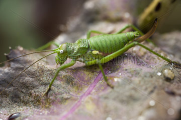 Rough Saddle Bush-cricket (Uromenus rugosicollis) female a hedge under the first rays of sunshine  Entre-deux-Mers  Gironde  New Aquitaine  France.