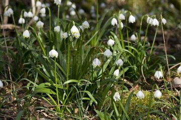 Spring Snowflakes in bloom in undergrowth - Bugey France