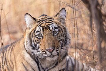Portrait of Bengal tiger (Panthera tigris tigris)  Ranthambore National Park  Rajasthan  India