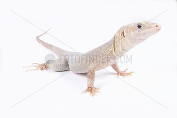 Jayakar?s Oman lizard (Omanosaura jayakari) on white background