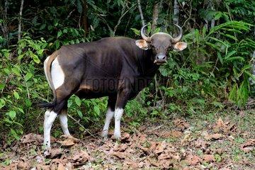 Banteng in forest - Taman Negara Malaysia