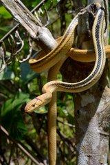 Radiated ratsnake on a branch - Malaysia