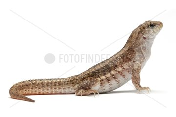 Red-sided Curlytail Lizard on white background