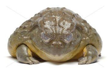 African bullfrog on white background