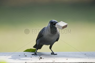 House Crow stealing a match box from a table India