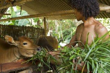 Man feeding cows with grass from Gunung Rinjani - Indonesia
