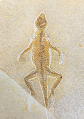 Fossil at Natural history museum of Belin - Germany