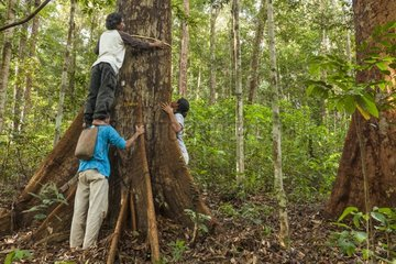 Measuring tree for Carbon stock monitoring - Eno forest