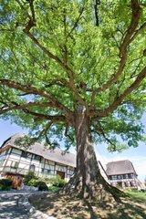 English oak in a garden in Alsace France