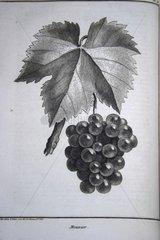 Lithographie de la variété de raisin Meunier France