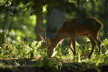 Red Deer (Cervus elaphus) young male looking fo food in undergrowth  Boutissaint Forest  Burgundy  France