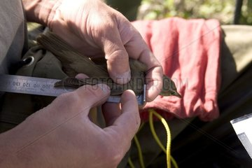 Measurement of Great Reed Warbler's wing Vaucluse France
