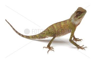 Scale-bellied Tree Lizard on white background