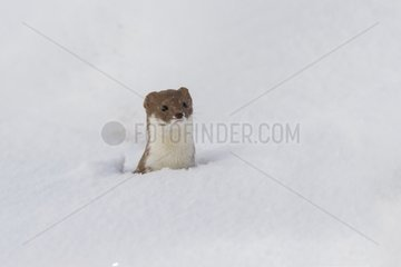 Least weasel in the snow - Rhodopes mountains - Bulgaria