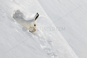 Mountain Hare (Lepus timidus) at covert in white winter coat in the Alps  Valais  Switzerland.