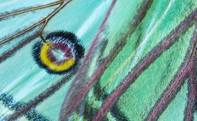 Spanish moon moth (Graellsia isabella  detail of eyespot  sometimes ocellus  Els Ports  Ebre lands  Spain