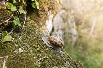 Brown Gardensnail crawling on moss - France