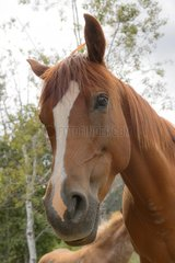 Portrait of Chestnut Quarter Horse - Rocky Mountains Canada