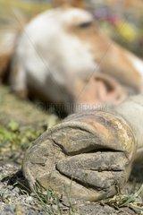 Quarter Horse cross Pinto lying - Canada Rockies