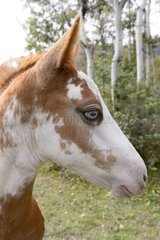 Portrait of Pinto Foal eyes minnow - Canada Rockies