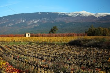 Vineyard in the fall and Mont Ventoux - Provence France