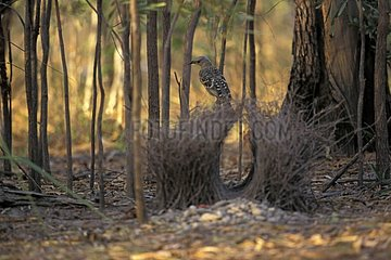 Male Great Bowerbird perched on its construction Australia
