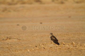 Pallid Harrier ground - Senegal