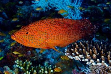 Coral grouper on hard coral - Ari Atoll Maldives