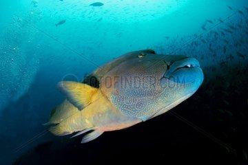 Giant Napoleonfishswimming - North Ari Atoll Maldives