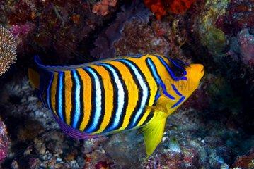 Regal angelfish on reef - Ari Atoll Maldives