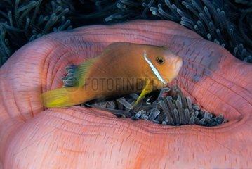 Maldives anemonefish inside sea anemone - Ari Atoll Maldives