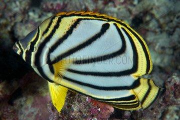 Meyer's butterflyfish on reef - Ari Atoll Maldives