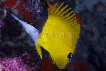 Longnose butterflyfish on reef - Ari Atoll Maldives