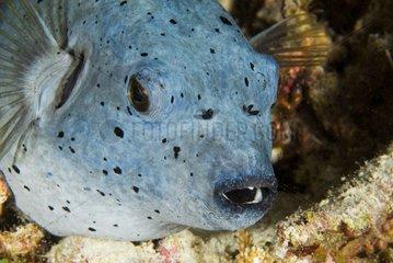 Star pufferfish on reef - Ari Atoll Maldives