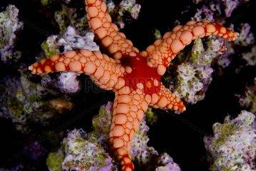 Red Mesh Starfish on reef - Ari Atoll Maldives