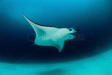 Manta ray swimming above sandy bottom - Ari Atoll Maldives