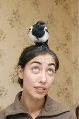 Magpie injured on the head of its healthcare