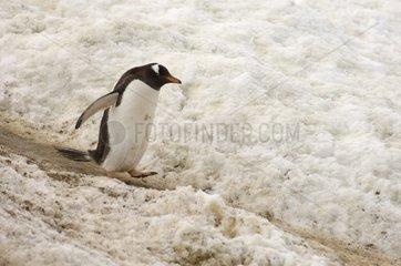 Gentoo penguin walking Gerlache Strait Antarctica peninsula
