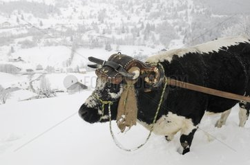 Ox from Vosges pulling a sledge Vosges France