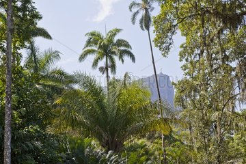 palm trees at the Botanical garden of Rio in Brazil