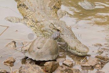East African serrated mud turtle and Nile Crocodile- Kruger