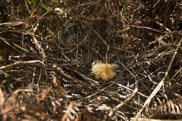 Young Metallic Pigeon at nest - New Caledonia
